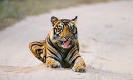 Wild Bengal Tiger lying on the road in the jungle. India. Bandhavgarh National Park. Madhya Pradesh. An excellent illustration Stock Photos