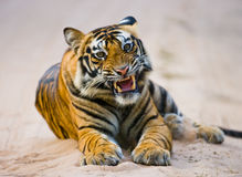 Wild Bengal Tiger lying on the road in the jungle. India. Bandhavgarh National Park. Madhya Pradesh. An excellent illustration Royalty Free Stock Images