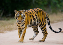 Wild Bengal tiger standing on the road in the jungle. India. Bandhavgarh National Park. Madhya Pradesh. An excellent illustration Stock Image