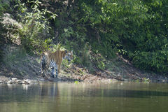 Wild Bengal tiger walking along the river at Bardia national park, Nepal Stock Photography