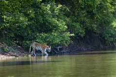 Wild Bengal tiger walking along the river at Bardia national park, Nepal Stock Photos