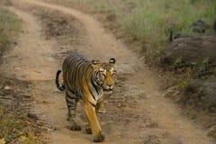 Wild Bengal Tigress Walking in Sunlight. A wild Bengal tigress walking along a dirt path in the sunlight royalty free stock photo