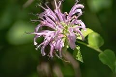 Wild Bergamot – Monarda fistulosa. Wild Bergamot flower, on green background, is a showy perennial in the mint family stock images