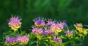 Wild bergamot or bee balm. Panoramic image of wild bergamot in a Kansas field Royalty Free Stock Photography