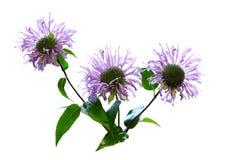 Wild Bergamot Flower Royalty Free Stock Photography