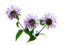 Wild Bergamot Flower Royalty Free Stock Photography