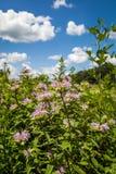 Wild bergamot flowers. In a prairie royalty free stock image
