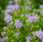 Wild Bergamot. Group of Wild Bergamot (Monarda fistulosa) flowers, also called Bee Balm royalty free stock photo