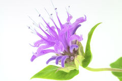 Wild Bergamot Royalty Free Stock Photos