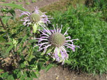 Wild bergamot, Monarda fistulosa Royalty Free Stock Images