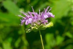 Wild Bergamot - Monarda fistulosa. A purple Wild Bergamot flower blooms in the afternoon sunshine. Also known as Bee Balm. Todmorden Mills Park, Toronto, Ontario stock photography