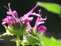 Wild bergamot purple closeup with leaves nearby. Marco settings on wild bergamot flowers in garden setting with other leaves in foreground royalty free stock photography