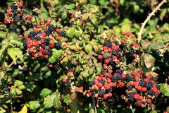 Wild berries. A view of a cluster of wild berries signifying the autumn harvest Stock Photos