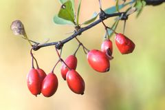 Wild Berries. A bunch of wild berries growing from a small tree stock images
