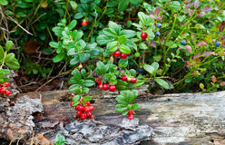 Wild berries Royalty Free Stock Photo
