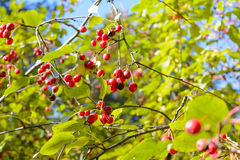Wild berries. Apples, Autumn, Berry, Early autumn, Forest, Forest apples, Forest berry, Grove, Wild apples, Wild berries, Wild berry Stock Photo