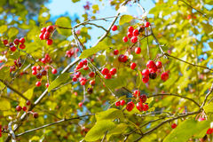 Wild berries. Apples, Autumn, Berry, Early autumn, Forest, Forest apples, Forest berry, Grove, Wild apples, Wild berries, Wild berry stock photography