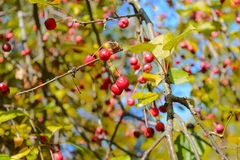 Wild berries. Apples, Autumn, Berry, Early autumn, Forest, Forest apples, Forest berry, Grove, Wild apples, Wild berries, Wild berry Stock Images