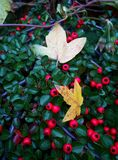 Wild berries. Autumn bush with red wild berries Stock Photos