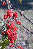 Wild Berries and Barbed Wire. Wild berries entwined in barbed wire Stock Images