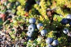 Wild berries, blueberries, Greenlandic berrya on the Arctic Circle trail Royalty Free Stock Photo