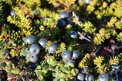 Wild berries, blueberries, Greenlandic berrya on the Arctic Circle trail Stock Photo