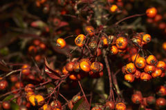 Wild berries. On blurred background Royalty Free Stock Photos