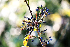 Wild Berries on a Bokeh Background. A branch of beautiful blue berries on a stunning bokeh background stock photo