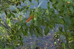 Wild berries Stock Image