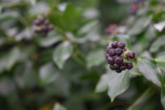 Wild Berries Close up. Berries close up in Newcastle, Co.Down, N.Ireland royalty free stock image