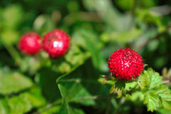 Wild Berries. Closeup of red wild berries Royalty Free Stock Photography