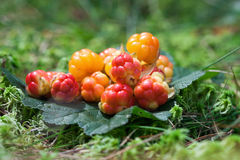 Wild berries (Cloudberry) Stock Photos