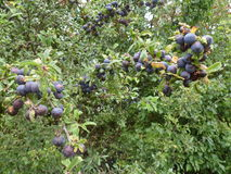 Wild Sloe Berries Detail Royalty Free Stock Photo