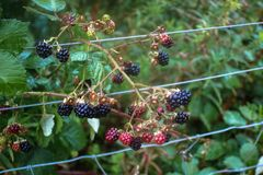 Wild Berries in Fence Royalty Free Stock Images