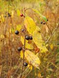 Wild berries in forest, Lithuania Royalty Free Stock Photography