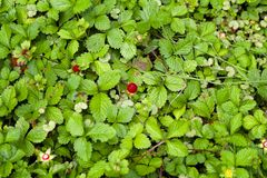 Wild Berries in the Forest Stock Photos