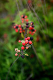 Wild Berries Royalty Free Stock Photography