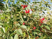 Wild red berries. Wild berries of red color growing free in the field royalty free stock images