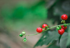 Wild Berries. Red fleshy wild berries being highlighted with the focal blur Stock Photo