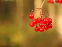 Wild berries. Wild red berries growing in a forest against a bokeh background for your copy - very selective focus on the first berries Royalty Free Stock Images