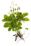 Wild berries roots and leaves Royalty Free Stock Image
