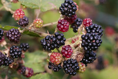 Wild berries shrub Stock Photography