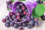 Wild berries spill out of the bucket Stock Photos
