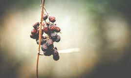 Wild Berries Trying to Hide From Winter`s Wrath Stock Image