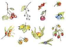 Wild berries in watercolor Stock Images