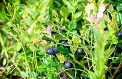 Wild berries in wood Royalty Free Stock Photo