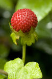 Wild berry. A wild growing berry in the forest Royalty Free Stock Images