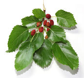 Wild Berry Stock Photography