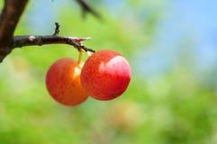 Wild Berry Stock Image