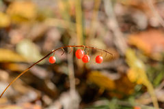 Wild berry. Autumn, Forest, Wild berry, Nature Royalty Free Stock Photos